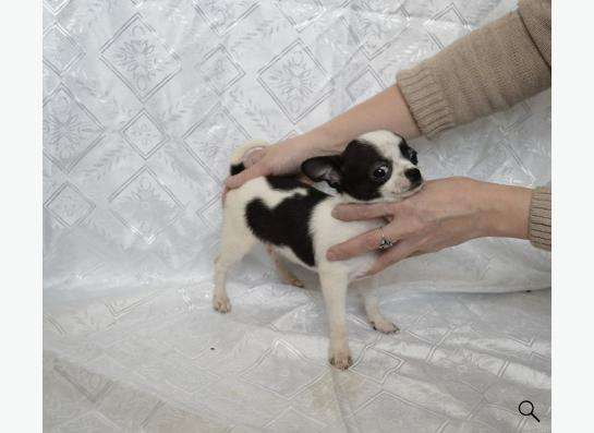 щенки микро чихуахуа в Челябинске фото 3