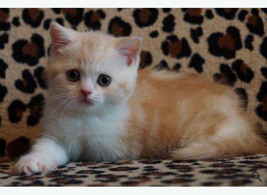 Котята британские в Новокузнецке Фото 3