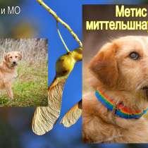 Метис миттельшнауцера, мааааленькая Мими хочет домой, в Москве