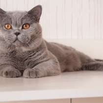 Голубой британский котик, в Москве