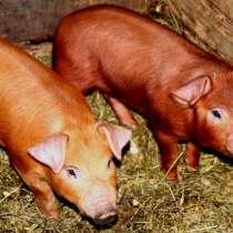 Продаем свинину, в г.Днепропетровск