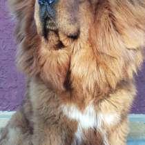 Резерв щенков Тибетского мастифа, в г.Лубны