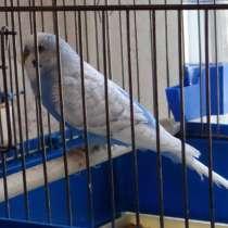 Продам птенцов волнистого попугая, в Луховицах
