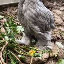 Цыплята породы кохинхин, в Нижнем Новгороде