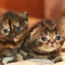 Шотландские котята породистые, в Москве