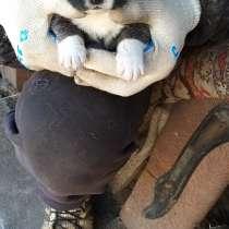 Продам щенка, мама алабай, папа кавказец, очень крупнын тел, в Чите