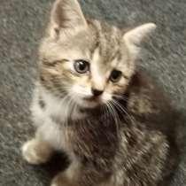 Отдам котят от шотландской кошки, в Москве