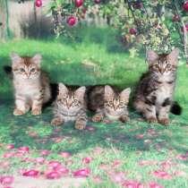 Сибирские котята, в Апрелевке