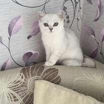 Британский клубный котенок девочка Скалли, в Москве