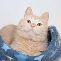 Ищет дом персиковый красавец кот Джек, в Москве