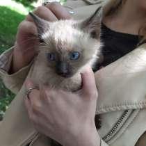 Сиамские котята, в Иркутске