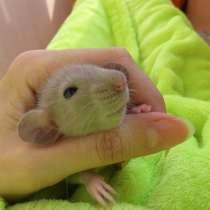 Продаются крысята породы Дамбо, в Сестрорецке