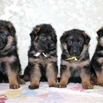 Предлагаются к продаже щенки немецкой овчарки! Энергичные, я, в г.Тирасполь