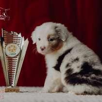 Австралийская овчарка щенки, в Москве