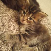 Котята Мейн кун, в г.Витебск