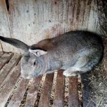 Кролики Серый великан, в Конаково