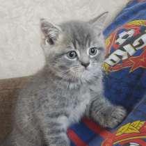 Шотландские котятки, в Чебоксарах