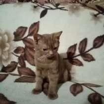 Продается котенок, британец, 4 месяца. Циннамон, в г.Ханой