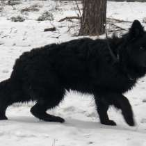 For Sale Long-haired German Shepherd, в г.Чернигов