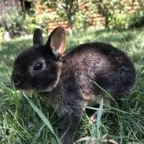 Карликовый рекс крольчата, в Краснодаре