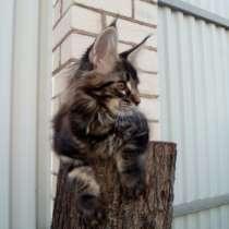 Котята Мейн Кун, в Ярославле