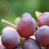 Продам саженцы винограда, в Омске