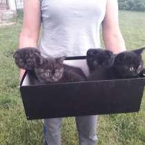 Продам милых шотландских котят, в г.Алматы
