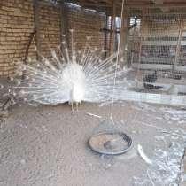 Белый павлин свой в Бухаре, в г.Бухара