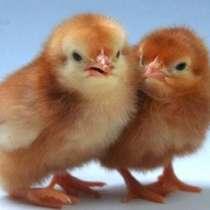 Цыплята Яичного Мясного Мясо-Яичного направления, в Краснодаре