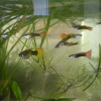 Рыбки гуппи, в Брянске