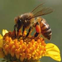 Пчелопакеты, Пчелы, Пчелопакеты Карпатка, в Ростове-на-Дону