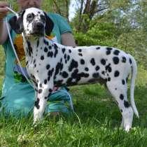 Dalmatian Puppies from White Gures, в г.Blankenfelde