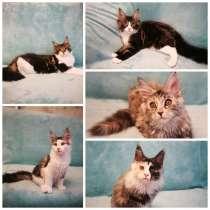Котята мейн-кун, в г.Брест