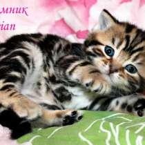 Британские котята черный мрамор из питомника, в Москве