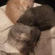 Британские котята, в Кемерове
