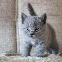 Голубые плюшевые британские котята, в Москве