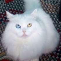 Ищу котёнка Турецкой Ангоры, в г.Мозырь