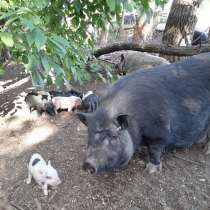 Продажа поросят и свиней живым весом, в г.Луганск