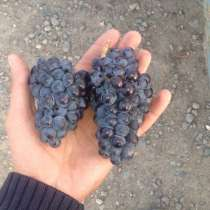 Виноград на вино, в Крымске