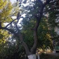 Спил деревьев, в Ростове-на-Дону