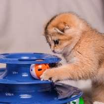 Питомник шотландских кошек, в Ростове-на-Дону