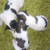 Продаются щенки папийона, перспективные, в Уфе