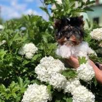 Предлагаем к продаже щенков бивер йоркширского терьеров, в Екатеринбурге