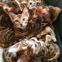 Бенгальские котята, отличная родословная, в Санкт-Петербурге