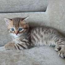Шотландский котик, в г.Могилёв