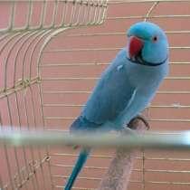 Синий ожереловый попугай(самец), в Москве