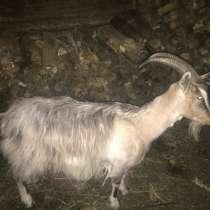 Дойная коза, в Шуе