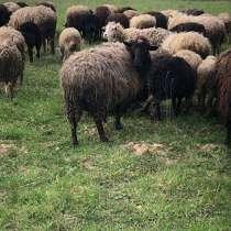 Овцы, в Ярославле