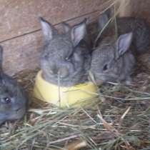 Кролики на разведение, в Старой Руссе