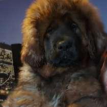 Тибетский мастиф щенки, в Нижнем Новгороде